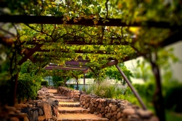 Green Wisteria grow free on this pathway to Page Springs Vineyards & Cellars